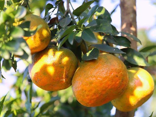 Ngủ mơ thấy quả cam - Ý nghĩa của giấc chiêm bao thấy quả cam là gì