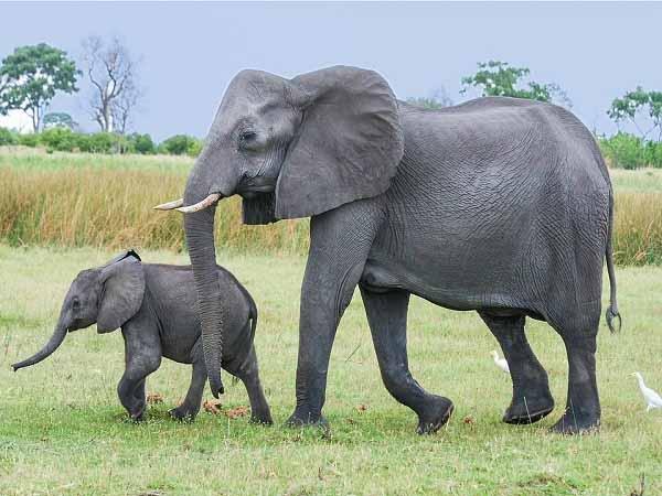 Nằm mơ thấy voi đánh con gì dễ trúng, có ý nghĩa gì