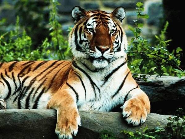Mơ thấy hổ báo mộng điềm hên hay xui? Hổ là số mấy?