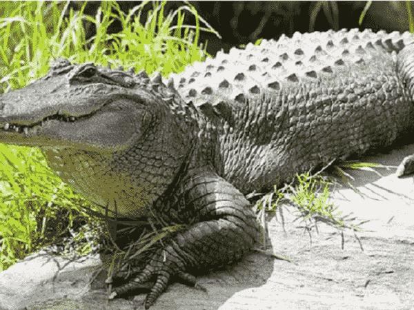 Chiêm bao mơ thấy cá sấu đánh con gì? số mấy?